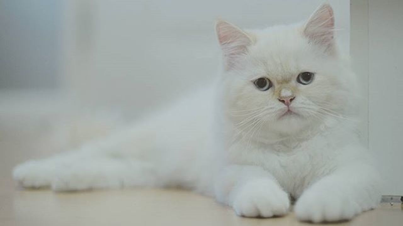 My name snow. Cat Catpersian White Whitecat Snow Smile Funny Bokeh Picture Photo CameraMan Photographer Fujifilm Fujixe1 Fujithailand Xe1 Lens Manuallens Cannon Vintagelens Canonfd50mm Canonfd50mmf1_4 50mm F1_4 50mmlens thailand bangkok