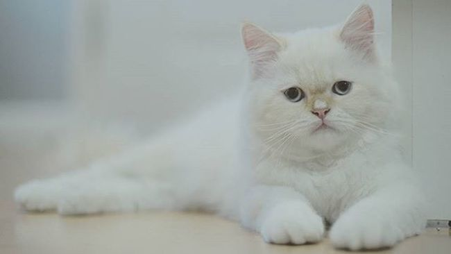 My name snow. Cat Catpersian White Whitecat Snow Smile Funny Bokeh Picture Photo CameraMan Photographer Fujifilm Fujixe1 Fujithailand Xe1 Lens Manuallens Cannon Vintagelens Canonfd50mm Canonfd50mmf1_4 50mm F1_4 50mmlens thailand bangkok