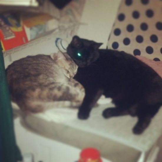 Gibby & Ozzie - Sunday snuggles. Cats Catlovers Catsofinstagram Igcats rescuepets stlouiscardinals