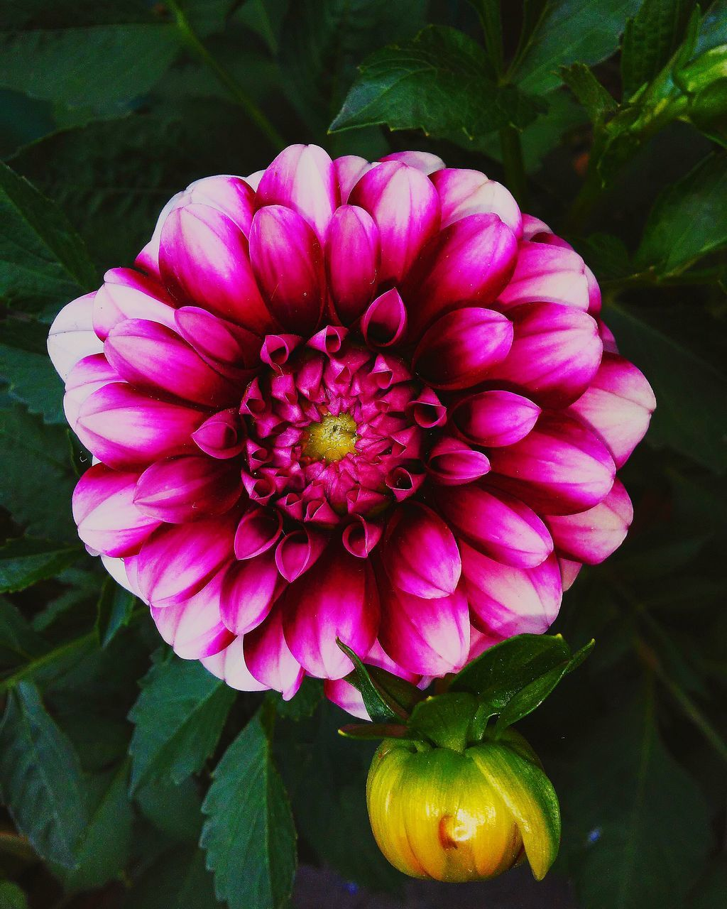 flower, petal, beauty in nature, nature, fragility, growth, flower head, plant, freshness, pink color, no people, blooming, leaf, outdoors, dahlia, day, close-up