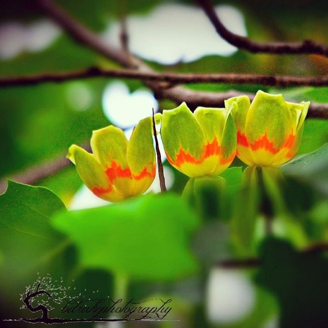 """This is a picture i took of my neighbor's Tulip tree in bloom during Latespring Earlysummer . """"The earth laughs in flowers"""" NatureIsBeautiful lookclose fullofwonder"""