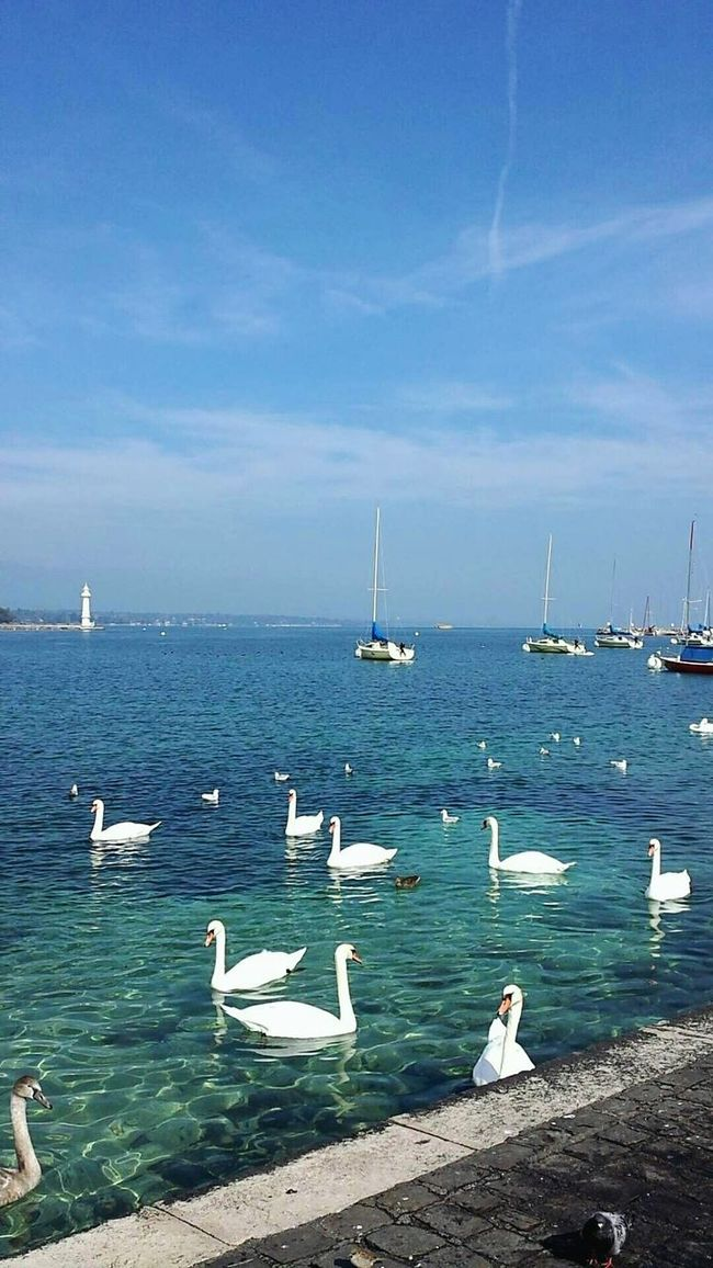 Beauty Lacleman Nature Photography Cygnes Swans Ducks Beautiful View Sailboats Seagulls Bluesky