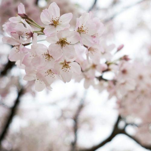 道後の桜。Flower Springtime Nature Blossom Tree Beauty In Nature Fragility Growth Close-up Branch Freshness Petal Flower Head No People Cherry Blossom Pink Color Plant Outdoors Cherry Tree X-PRO2 Xf23mmf2