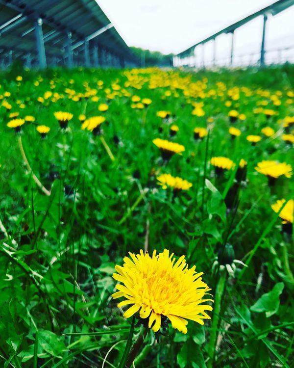 Dandelion Solar Plant Flower Nature Field Close-up