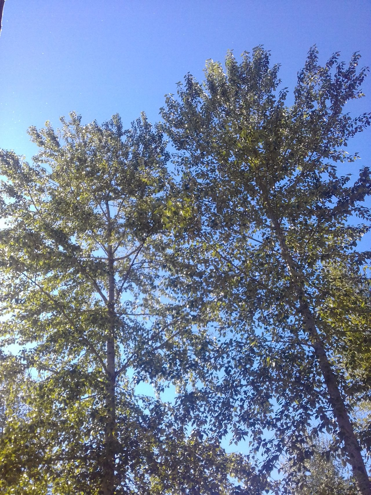 Low Angle View Cottonwood Trees Growth Beauty In Nature No People Day Outdoors Trees Springtime Allergy Time!