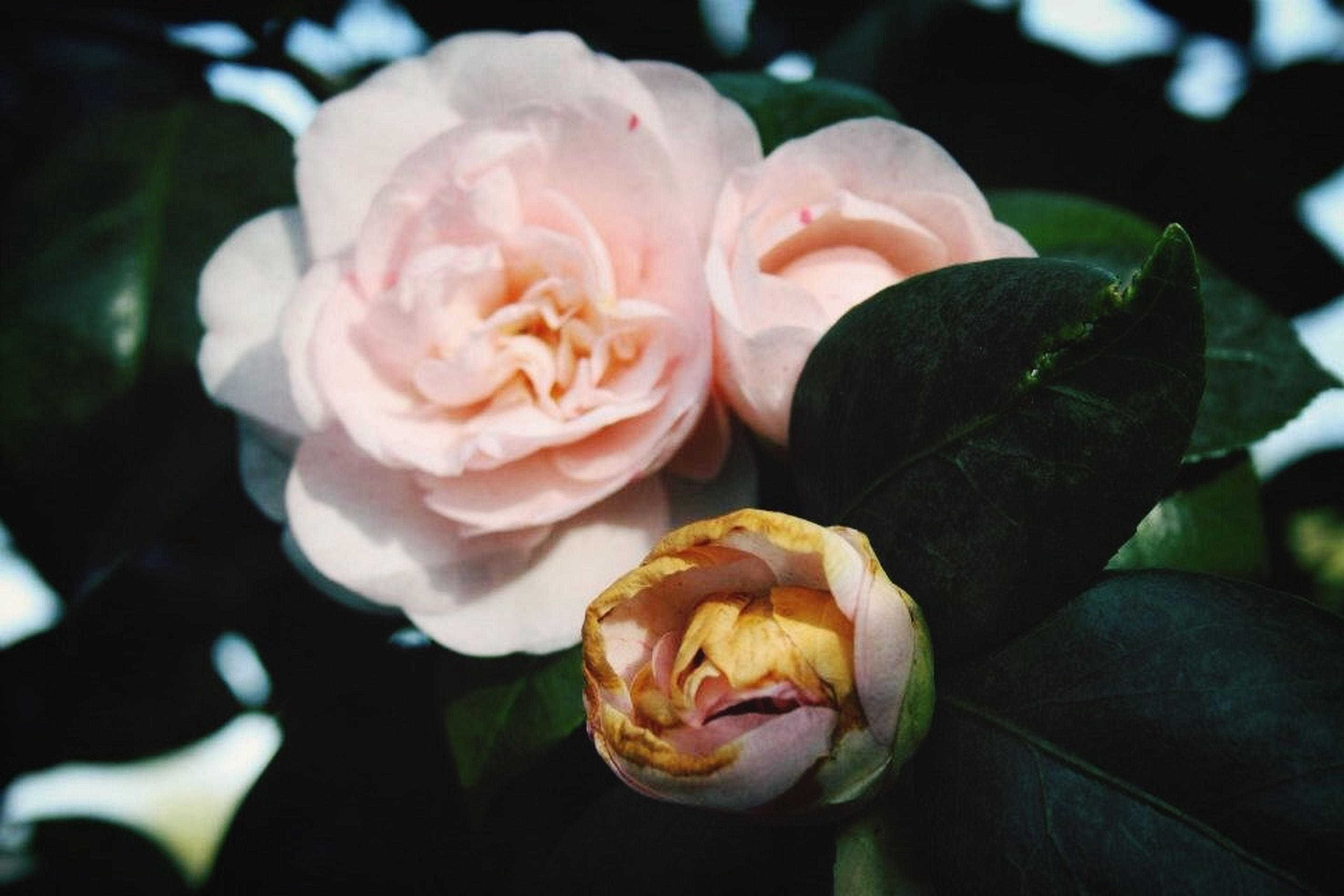 flower, petal, freshness, rose - flower, flower head, fragility, beauty in nature, close-up, growth, blooming, focus on foreground, nature, rose, single flower, in bloom, plant, pink color, park - man made space, outdoors, day