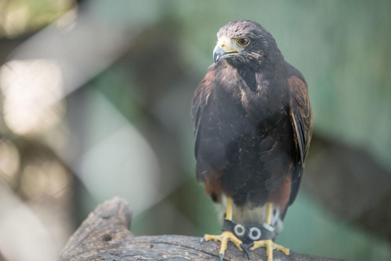 Fotografias feitas no Parque dos Falcões na cidade de Itabaiana - Sergipe - Brasil. Um local encantador e cheio de histórias incríveis. Animais Animais Incríveis Brasil Itabaiana/SE Lazer Parque Dos Falcões Rapina Águias