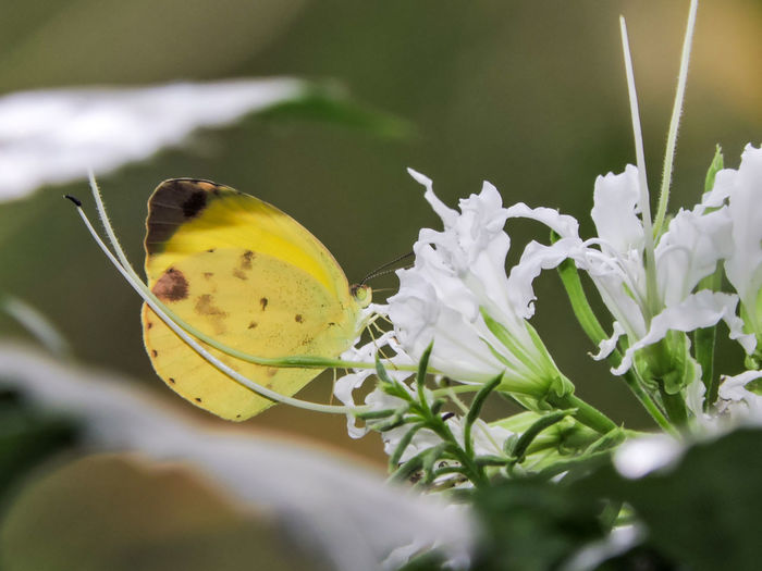 Animal Themes Beauty In Nature Butterfly Close-up Flower Fragility Freshness Magazhu Nature No People Outdoors Showcase April Yelapa Yellow Yellow Butterfly
