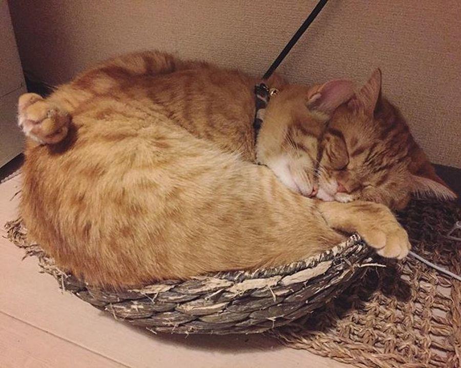 Cat Neko ねこ 猫 ねこ Cats スコティッシュフォールド Scottishfold 茶トラ ロロ Lolo コケティッシュフォールド コケティッシュホールド Piopio Pio ピオ かご猫 も〜お前らくっ付き過ぎ〜😚😽💕