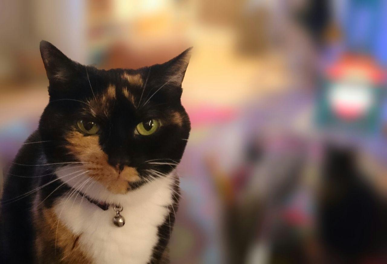 Sugar Plum Cats Tortoiseshell Cat Small Cat