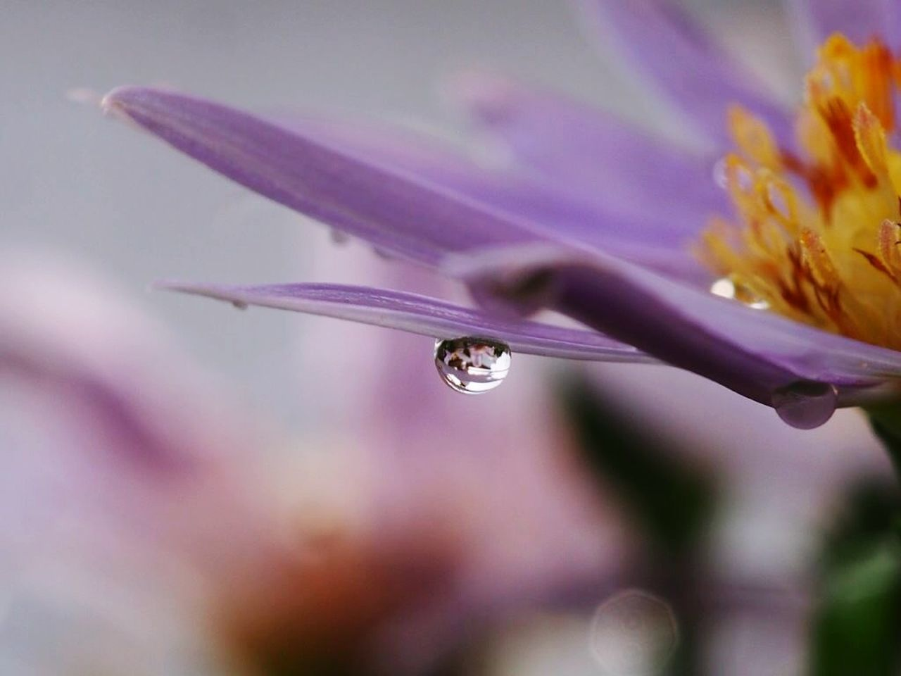 flower, fragility, nature, beauty in nature, drop, plant, growth, freshness, petal, close-up, focus on foreground, no people, outdoors, day, flower head, water
