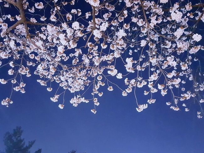 Cherry Blossoms 벚꽃 봄 그날 Daily 꽃 Flower First Eyeem Photo