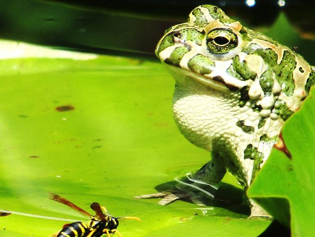 Waterlily Frog Frogprince Greenfrog Bee Contrast Garden Gardenlakes Naturephotography NatureIsBeautiful Eyeemnaturelover EyeEmBestPics Eye4photography  Animalphotography