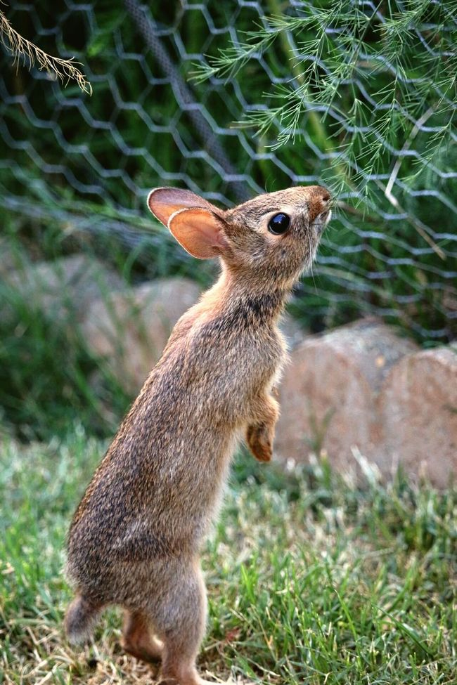 Nature Photography Naturelovers Nature Rabbits 🐇 One Animal Animals In The Wild Animal Wildlife Animal Themes Grass Nature Vertical No People Outdoors Close-up Day Mammal Eating!