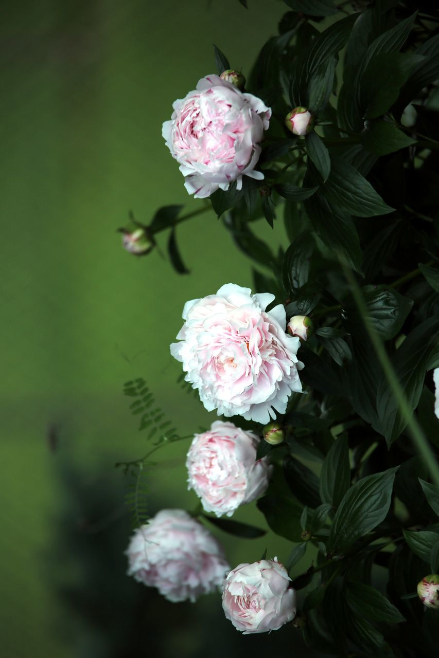 Close-Up Of Roses Against Blurred Background