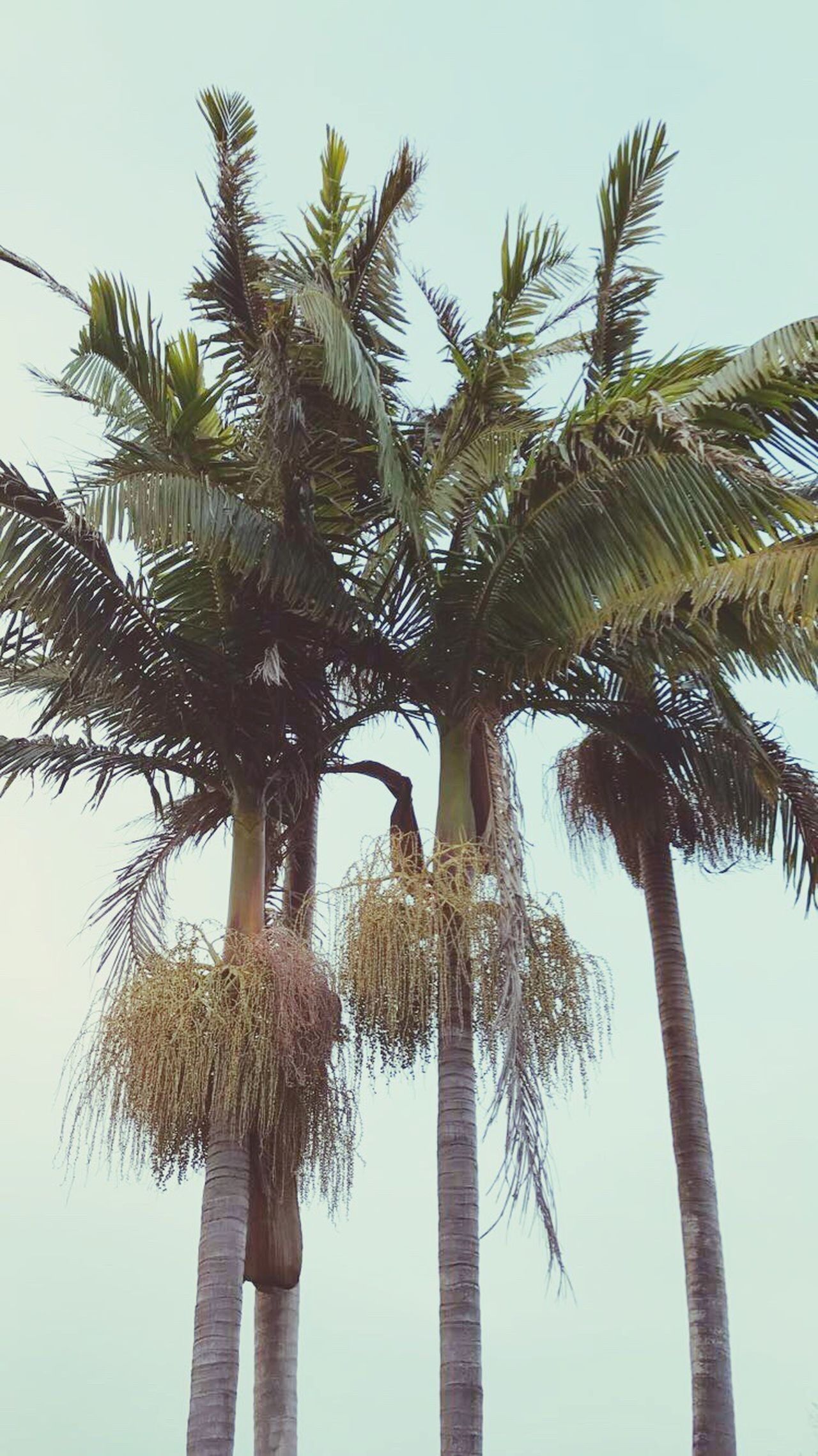 Palm Tree Nature Tree Trunk Outdoors Sky Tree San Diego California Photography Nature Summer Green Blue Grey Sky Vintage Style America USA Travel Exploring Destination