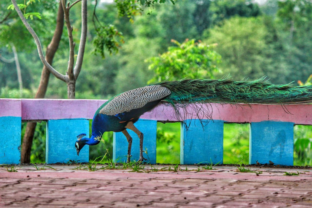 bird, animal themes, animals in the wild, one animal, animal wildlife, peacock, day, outdoors, nature, focus on foreground, green color, no people, tree, beauty in nature, close-up, peacock feather