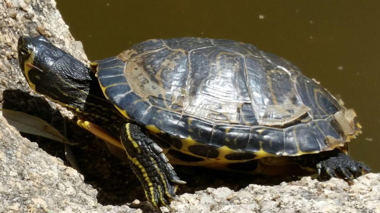 Tartaruga acquatica Turtles Tartaruga Tartarughe Giganti Tartarughe Turtle 🐢 Turtles Lagoon Turtle Turtle