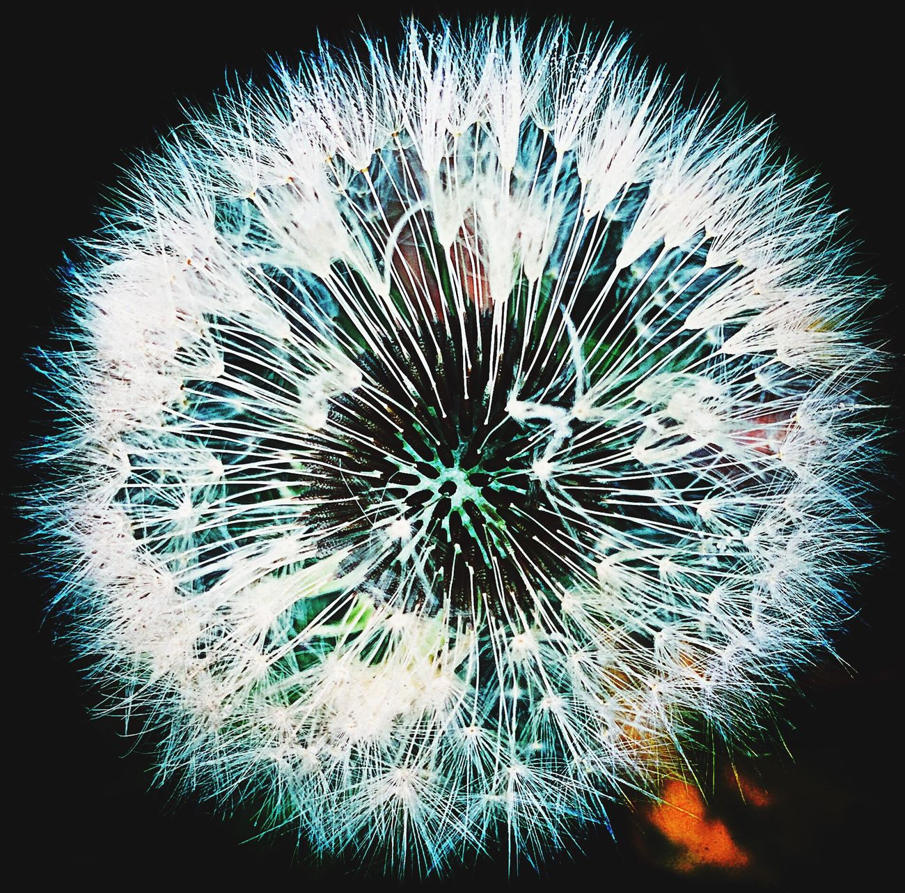 Dandelion seeds Black Background Nature Fragility Close-up Spiked No People Growth Flower Head Spiky Outdoors Day