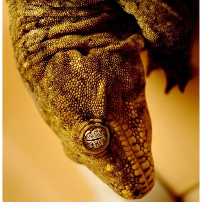 Gecko Newcal Newcaledoniangecko Lizard Reptile Canon