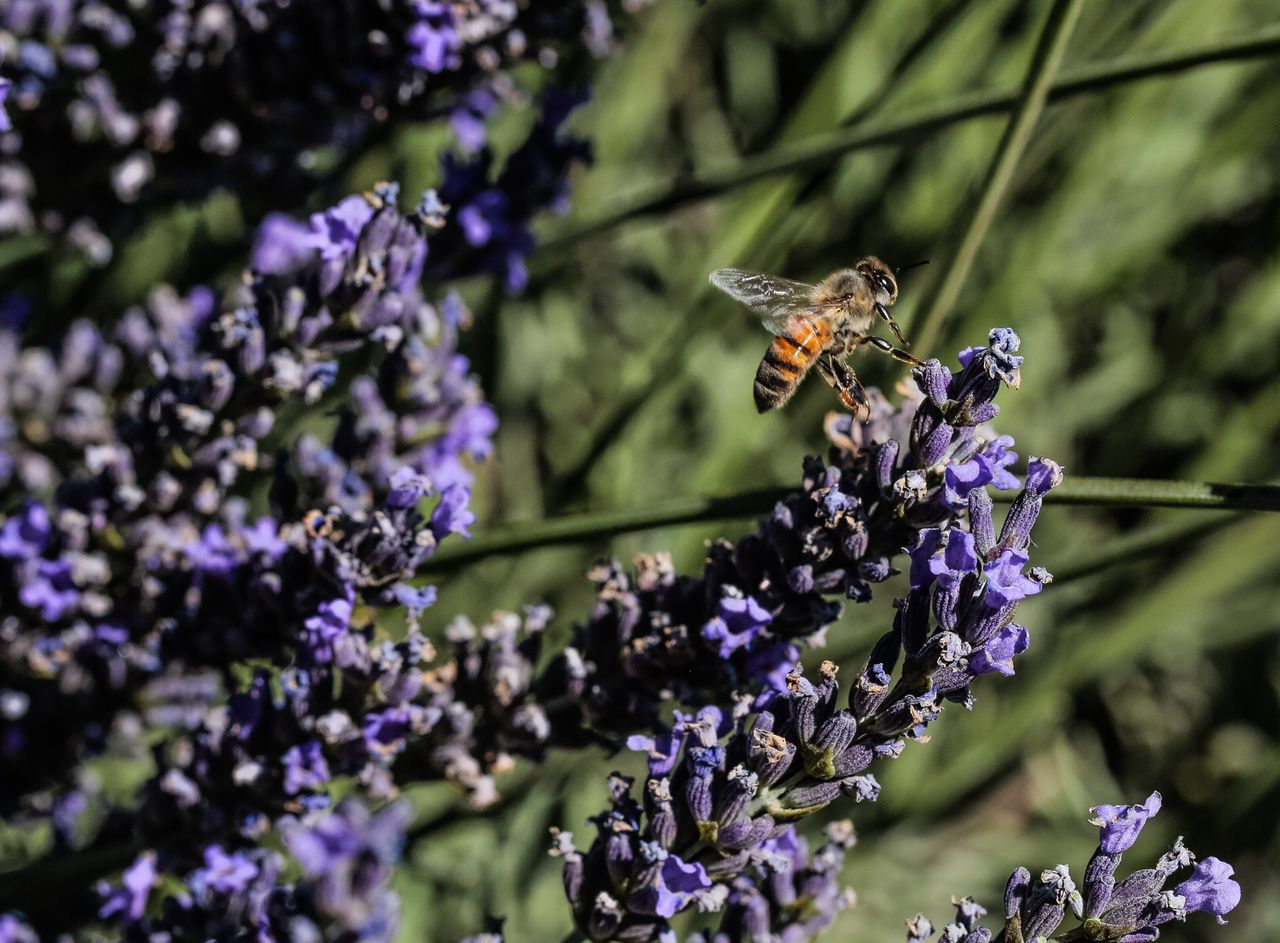 Lavender fields in Beaumont, CA. Bees making Lavender honey. Desert Life Garden Photography Desert Beauty Deserts Around The World JGLowe California Desert Work In Progress Flowers Plant Budding Flower Plantlife Bee Bees