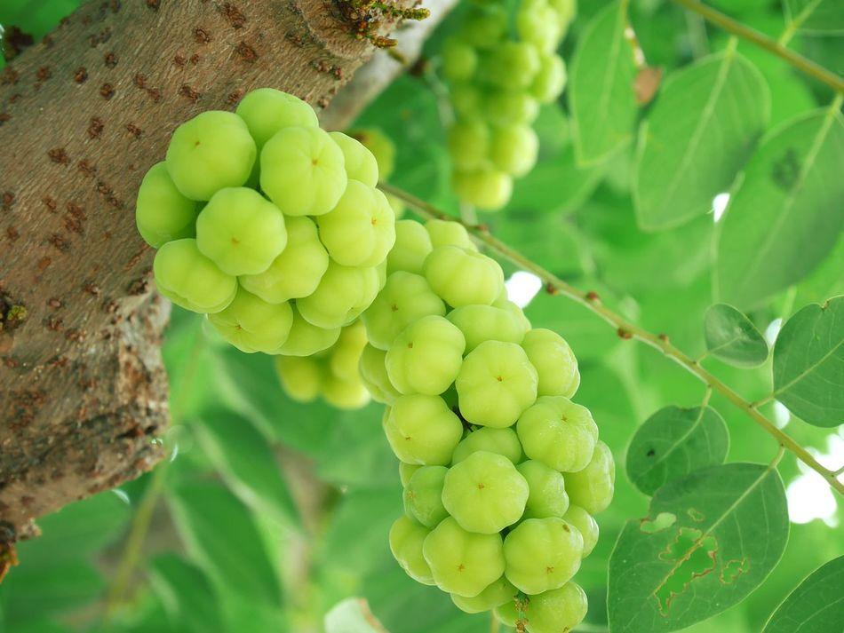 มะยมเปรี้ยว 😁 Star Gooseberry Green Color Fruit Growth Nature Leaf Plant Outdoors Beauty In Nature Freshness Healthy Eating EyeEm EyeEm Nature Lover EyeEm Gallery