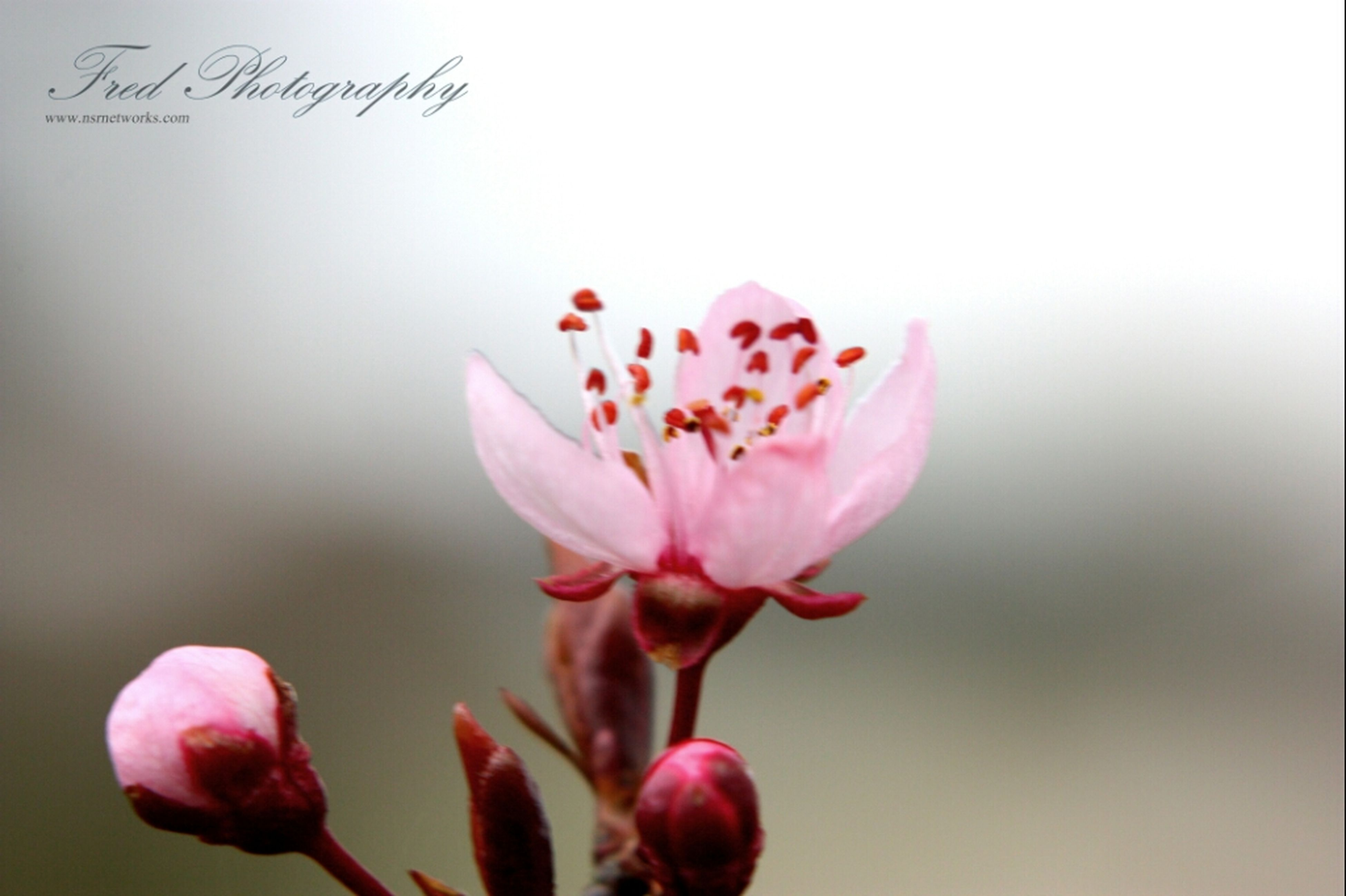 flower, freshness, petal, fragility, flower head, beauty in nature, growth, close-up, pink color, nature, focus on foreground, stem, bud, blooming, blossom, plant, in bloom, stamen, selective focus, springtime