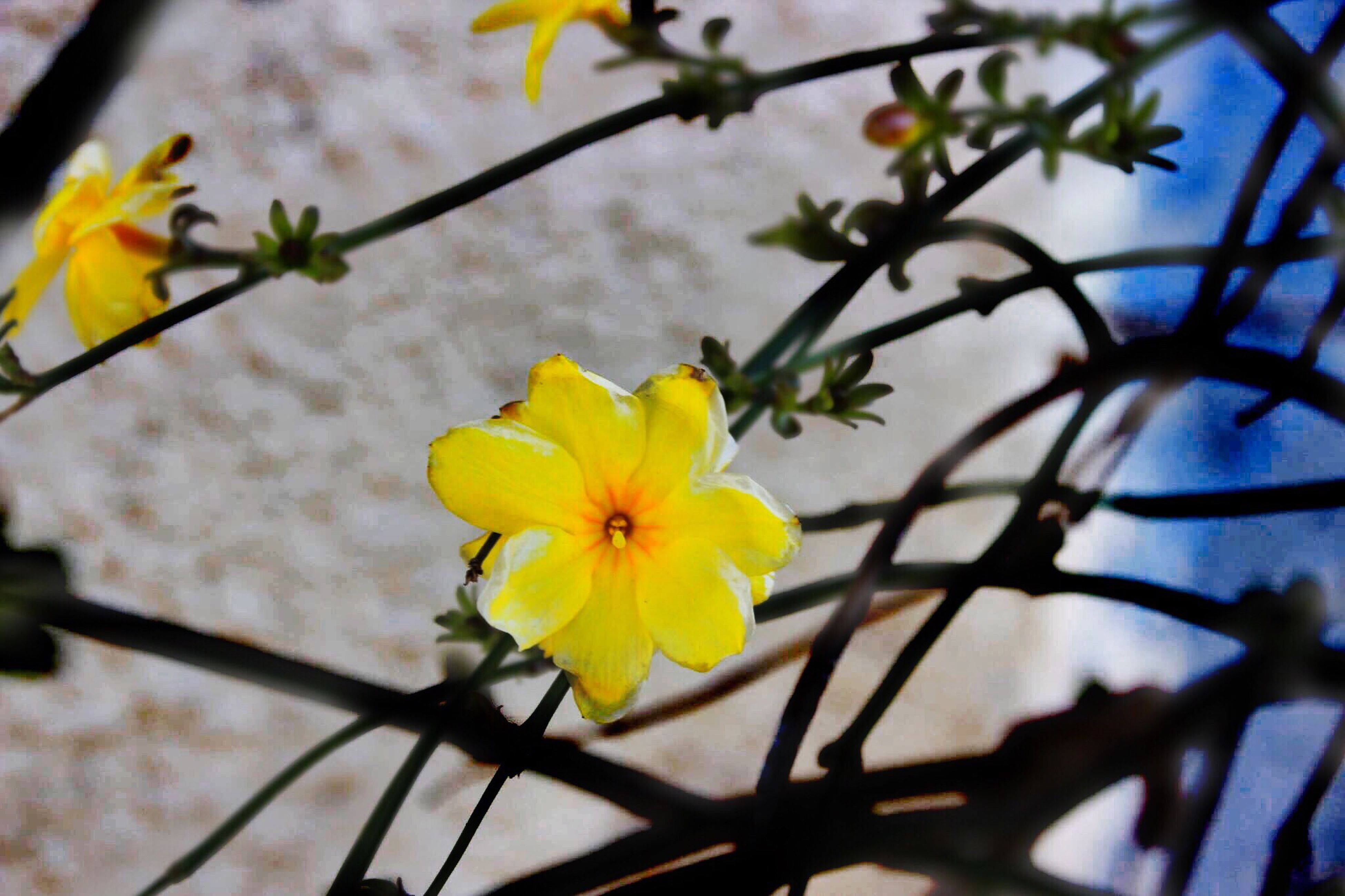 flower, fragility, nature, beauty in nature, growth, freshness, yellow, close-up, flower head, no people, petal, blooming, low angle view, outdoors, day, branch