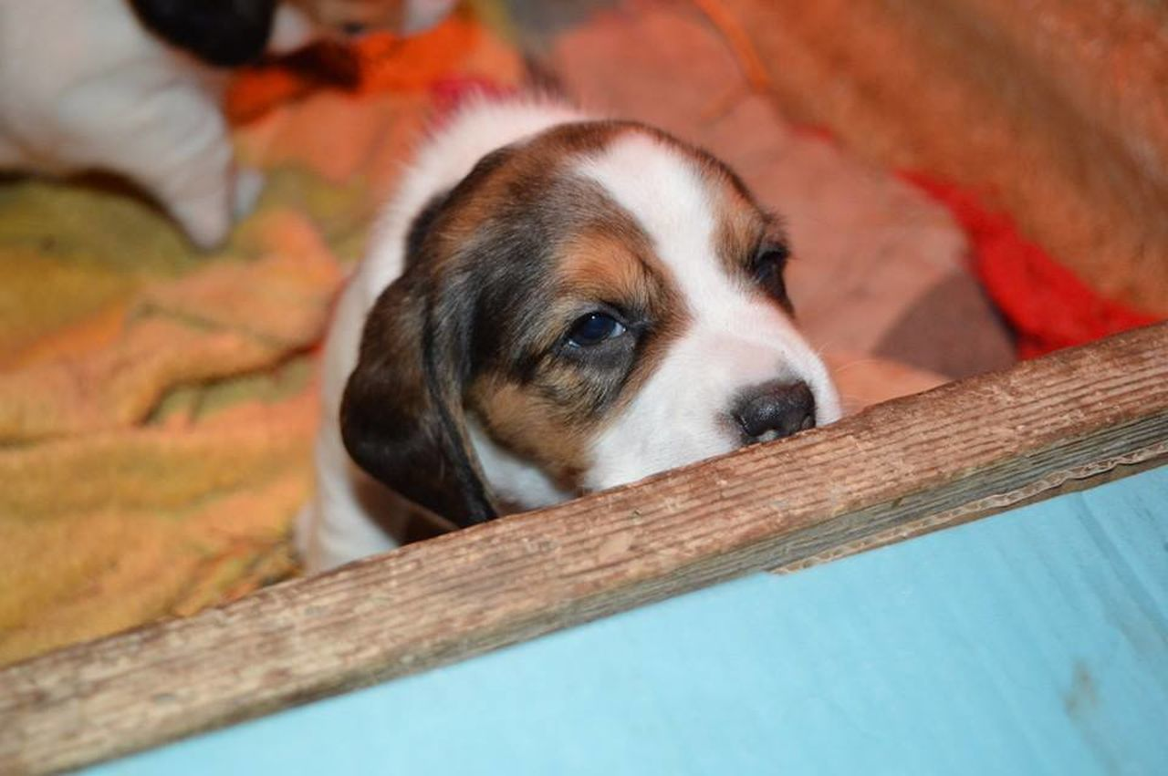 Beagle Beagle Love Beaglelove Beaglepuppy Dogs Dogs Of EyeEm Puppy Puppy Love