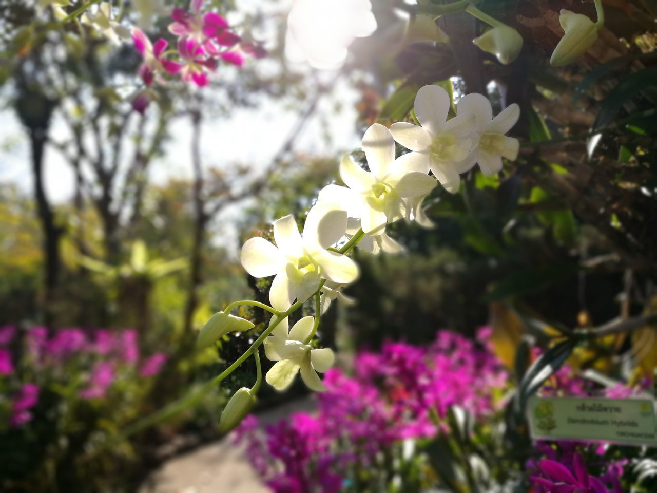 White orchids in morning sun light Backgrounds Flower Head Close-up Focus On Foreground Thailand Light Morning Garden Exotic Flowers Exotic Day Outdoors Freshness Plant Purple Pink Color Petal Nature Beauty In Nature Orchid Growth Hanging Flower White