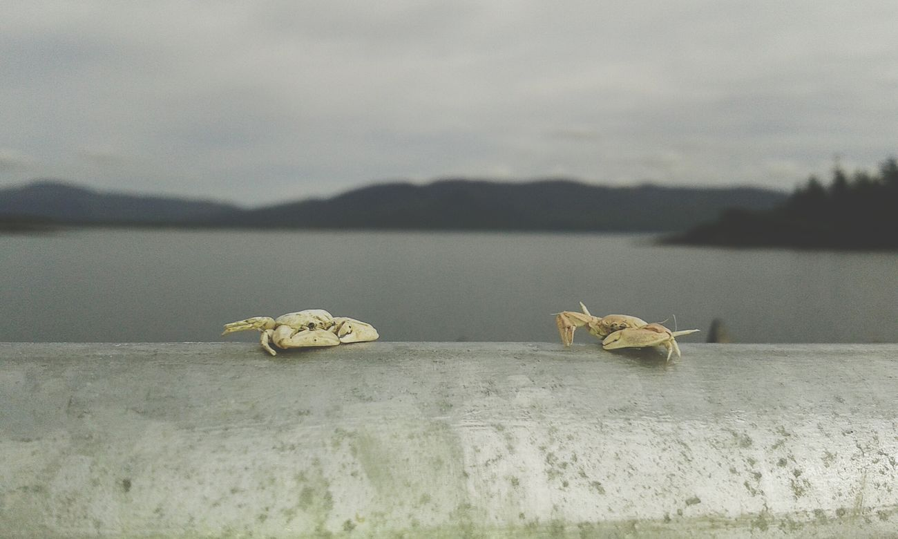 Littlecrabs Crabs Fishing Pier Upcloseandpersonal Focus Background Mountains Sea Beautiful Nature Summer Nature Photography Ireland Simpleedit Takenbyme
