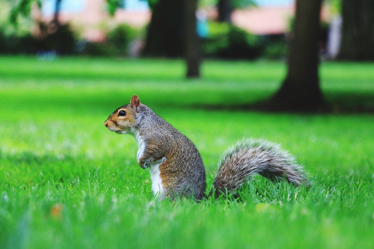 grass, squirrel, one animal, animals in the wild, nature, animal themes, green color, day, outdoors, animal wildlife, focus on foreground, field, mammal, no people, eating, growth, close-up