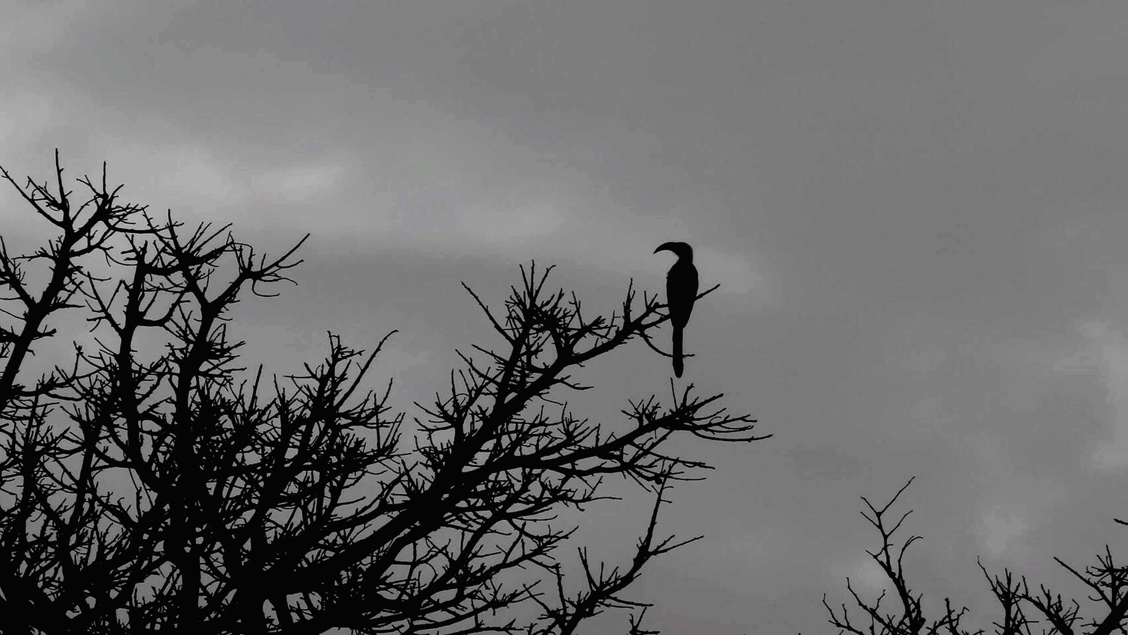 animal themes, bird, low angle view, animals in the wild, silhouette, one animal, wildlife, branch, perching, bare tree, tree, sky, nature, beauty in nature, outdoors, clear sky, dusk, tranquility, no people, day