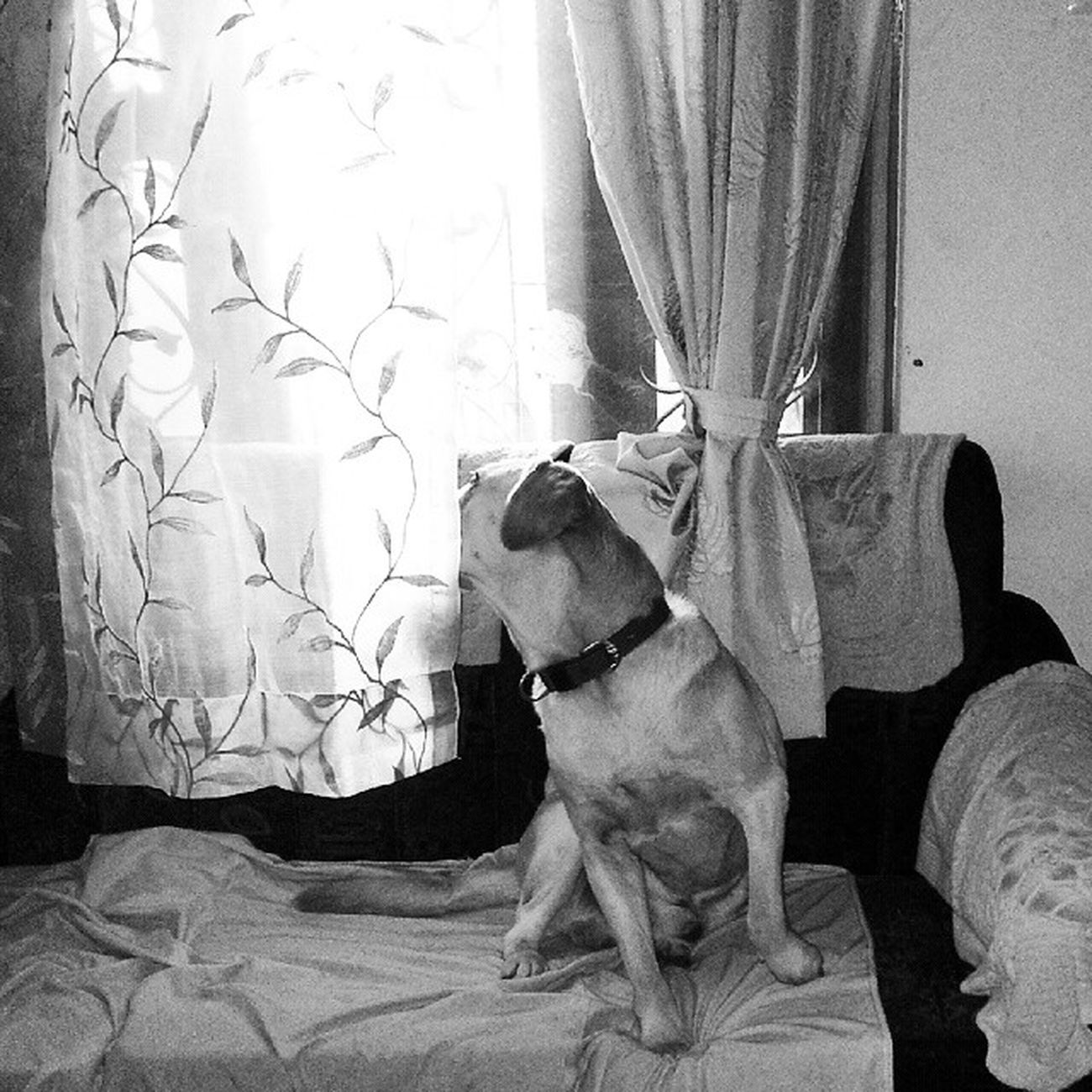 Most of the times, when any family member is out a long time( in this case my mom and dad ), snoopy waits by the window, reacts to even the smallest of sounds.. That longing in his eyes, that restlessness in his movements.. Bhubaneswar Odisha Fablab Labradorsofinstagram Dogs Wait Faith Loyal