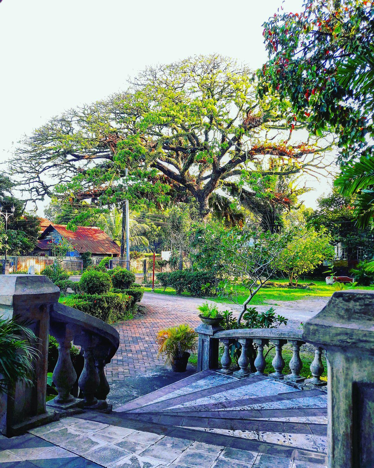 Old tree.Tree Acacia Tree Acacia BalayNegrense Balay Negrense Garden