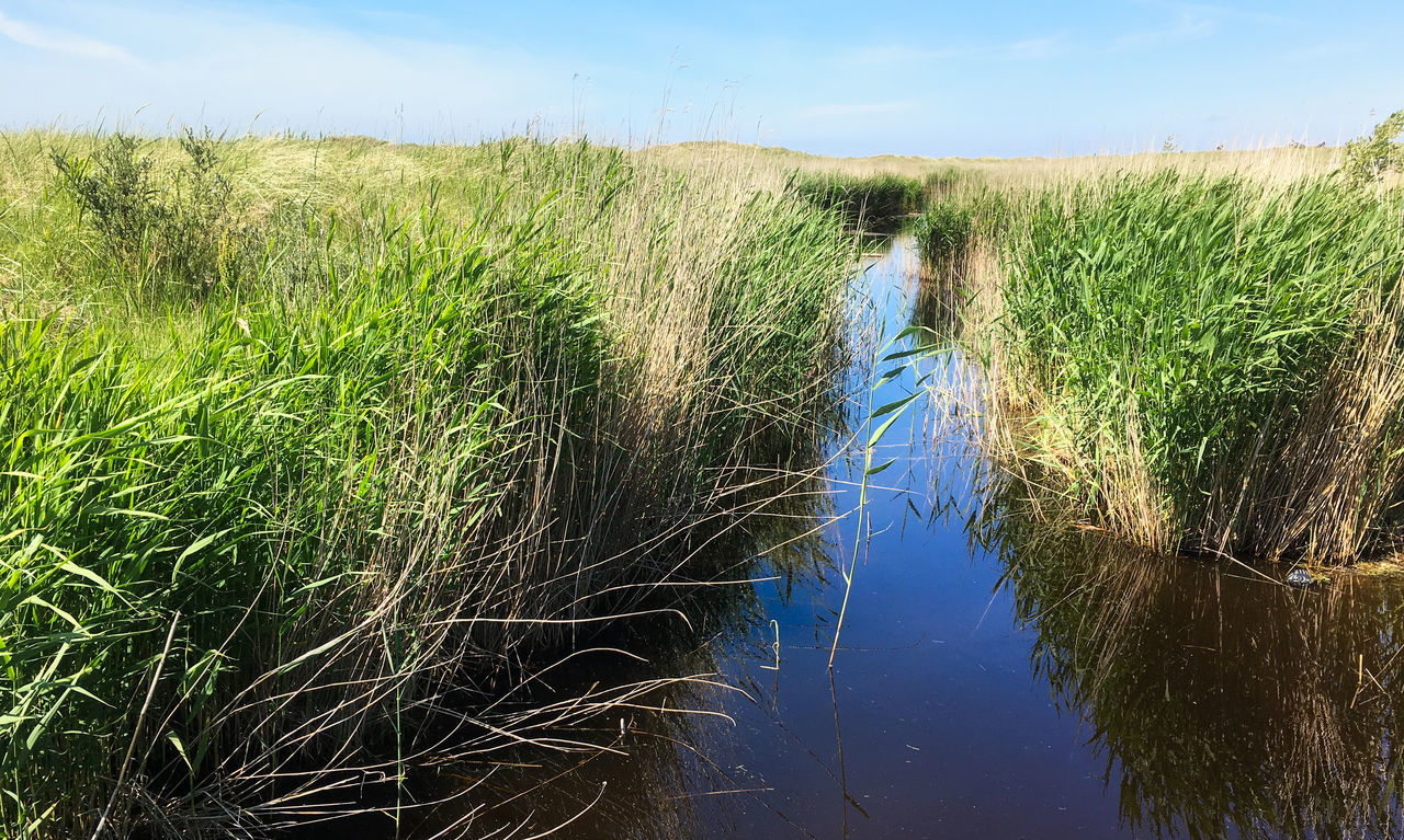 Dünengras und Wasser Agriculture Beauty In Nature Cereal Plant Crop  Day Field Grass Green Color Growth Landscape Nature No People Outdoors Plant Rural Scene Scenics Sky Tranquil Scene Tranquility Water