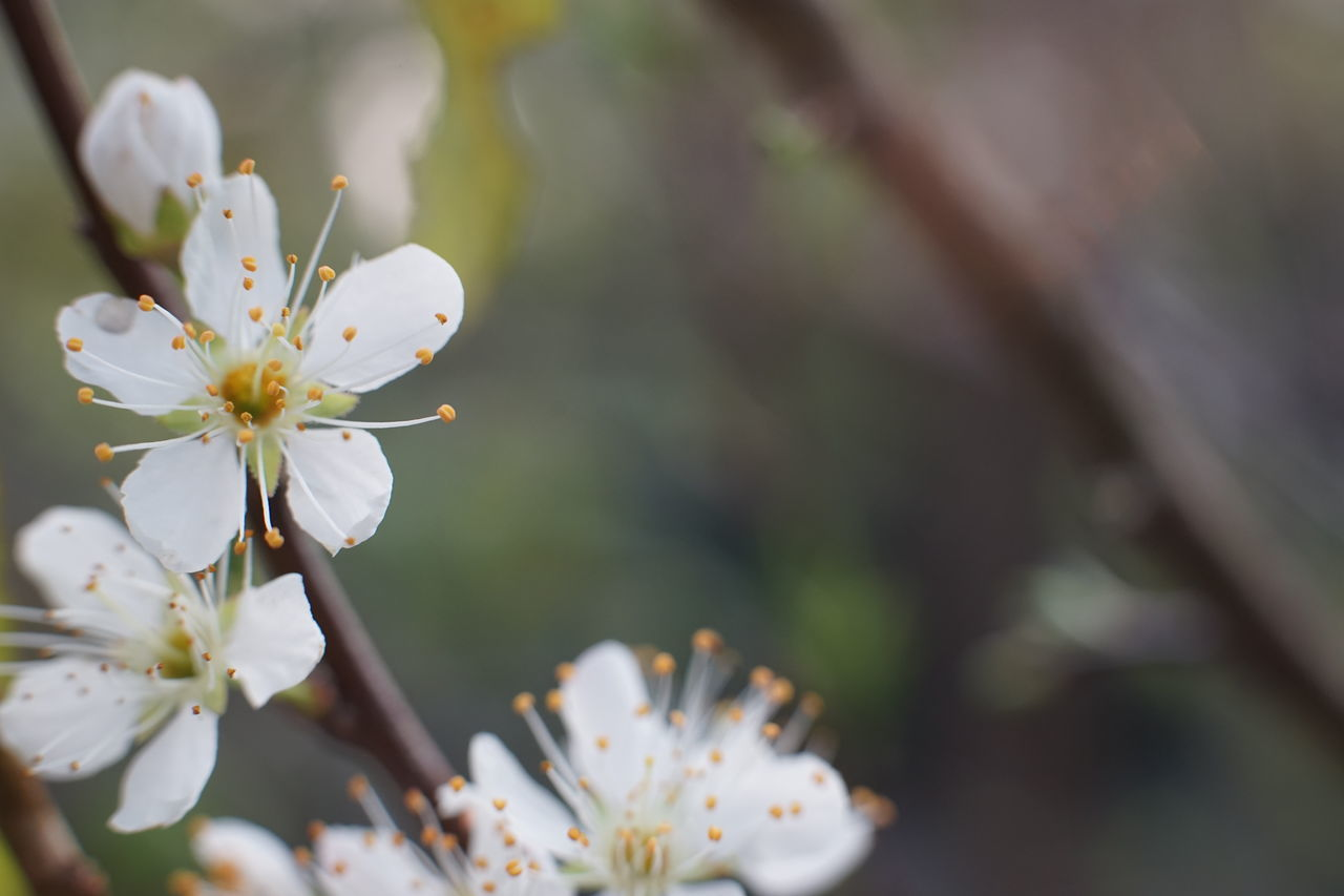 Beauty In Nature Blossom Earth Day Flower Flower Head Fragility Freshness Growth Nature Petal Plum Blossom Springtime Stamen Twig