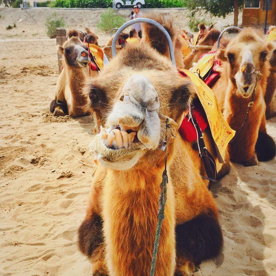 mine Camel