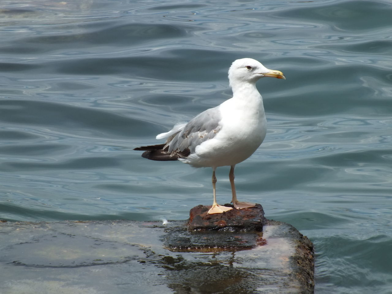 bird, animals in the wild, animal themes, one animal, water, animal wildlife, day, nature, seagull, outdoors, no people, lake, perching