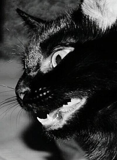 My Cats Cats 🐱 Makro Photography Tierfotografie Black And White Kontraste Strolch Susiundstrolch Wildlife Animal Photography Animals Posing Animal Portrait Makrografie EyeEm Animal Lover Nature Photography Tierisch Schön Meine Katzen Katzenaugen Katzenfoto Experimental Photography