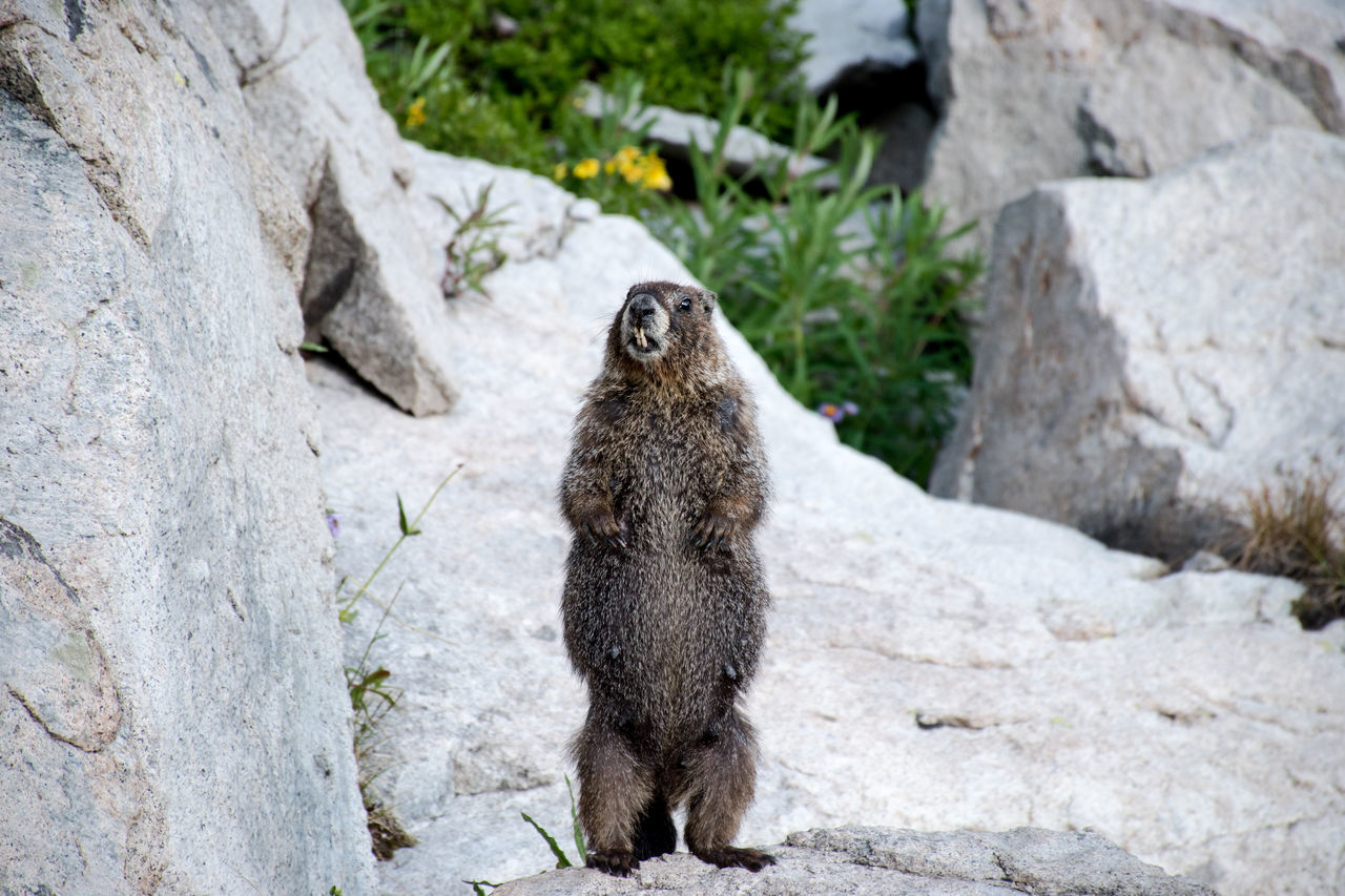 Marmot Colorado Wildlife