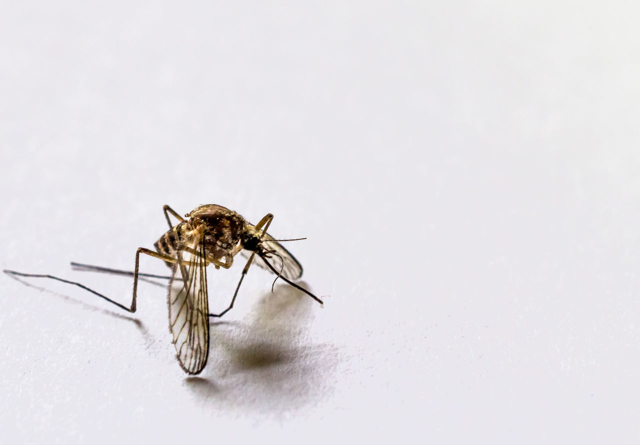 Ades Anopheles Bite Bug Close-up Culex Dengue  Focus On Foreground Insect Malaria Mosquito Nature No People White Background Yellow Fever Zika