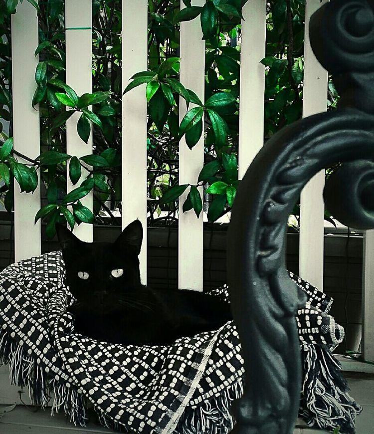 черный кот Gatto Nero