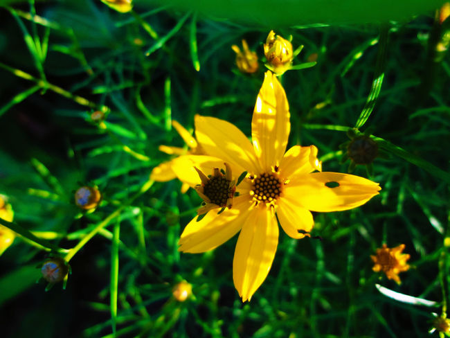 Backyard flower Beauty In Nature Blooming Blossom Botany Close-up Day Flower Flower Head Focus On Foreground Fragility Freshness Green Color Growth In Bloom Nature No People Outdoors Petal Plant Pollen Selective Focus Tabphotography Yellow
