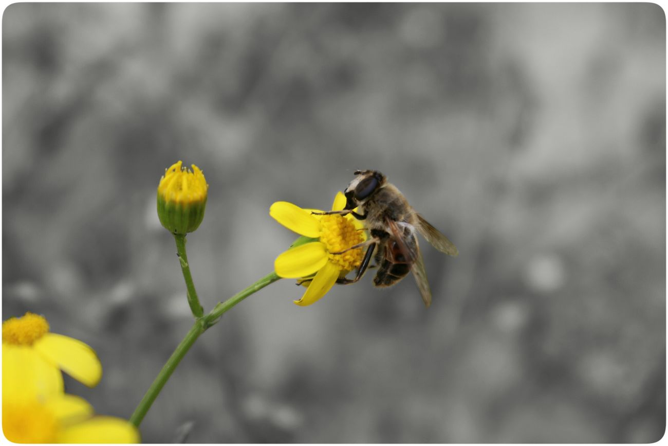 PHoTo:TiTo Bee Honey Flower Blak&white Canon 700D Taslimi Bonab 18-55mm گل زنبور زنبورعسل بناب تسلیمی کانن کانن700دی