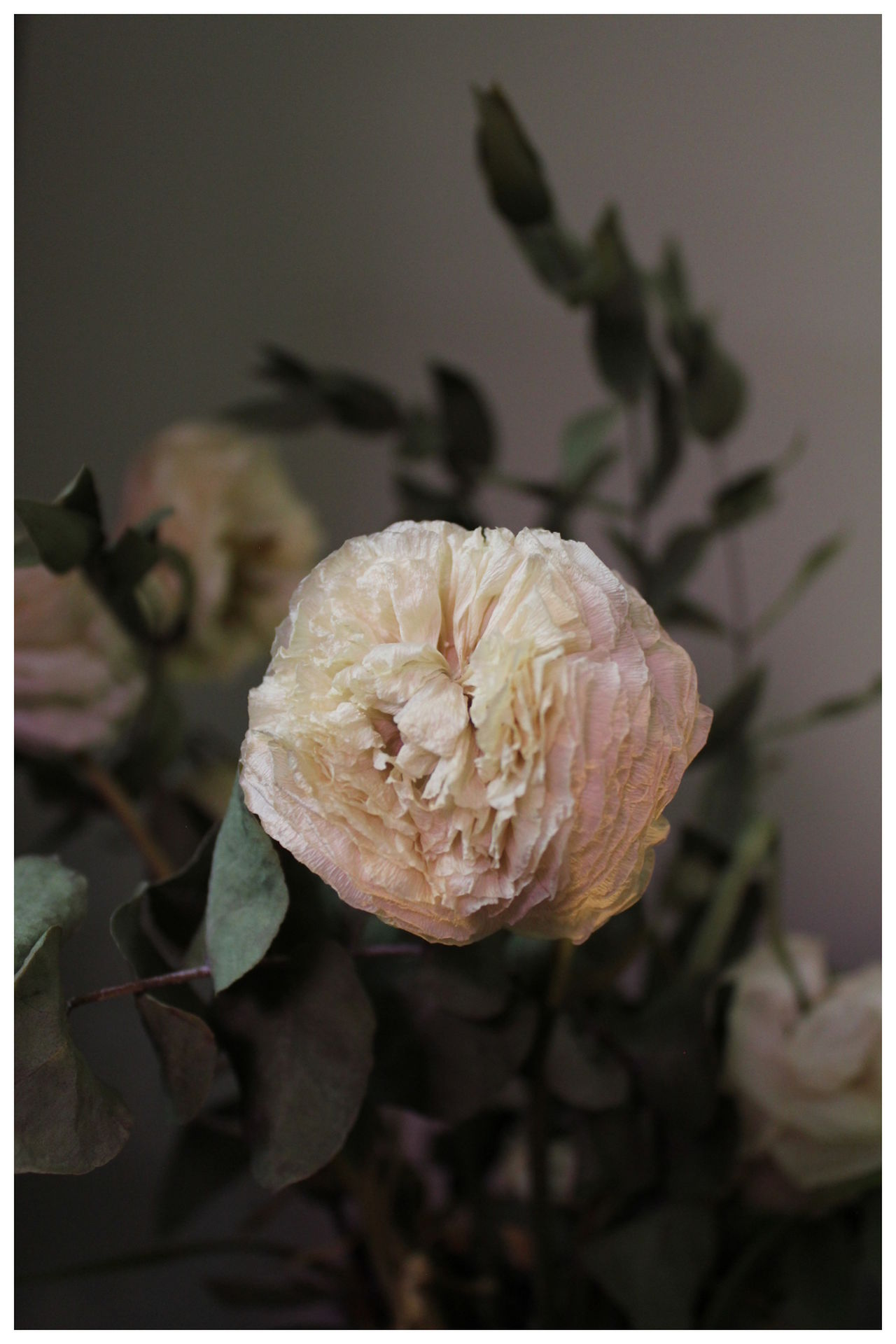 Beautiful Flower Close-up Dried Flowers Flower Fragility No Filter Plant Ranunculus Ranunkel  Wilted Flower