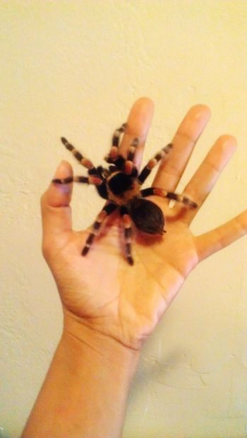 Tarantula Tarantulas Insects  Insect Photography Insect Paparazzi Bug Bugs Asbigasmyhand Red Legs Hairylegs  Hairy  Hairy Legs  Tarantulaworld Eight Legs Eight Legged 8 Legged Friends 8 Legged Freaks 8 Legs In My Hand No Fear Naughtay Fox Snake Handler Arachnid Arachni-therapy Arachnid Photography Pet Portraits
