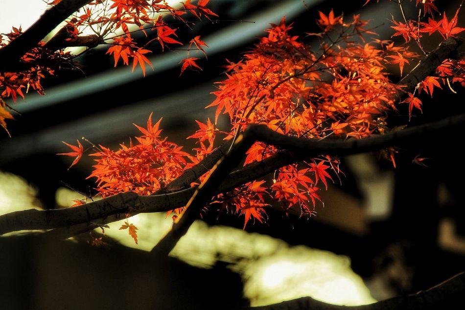桜を見に行く途中みつけた紅葉。冬でも秋。季節の混在。 紅葉 Autumn 品川 あなたと見隊 Japan