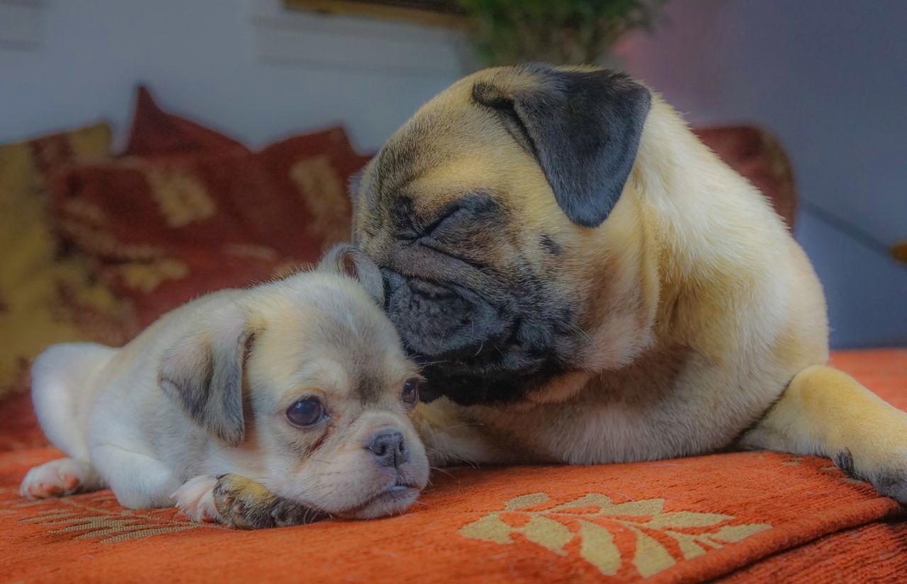 Pug Chug Cute Pets