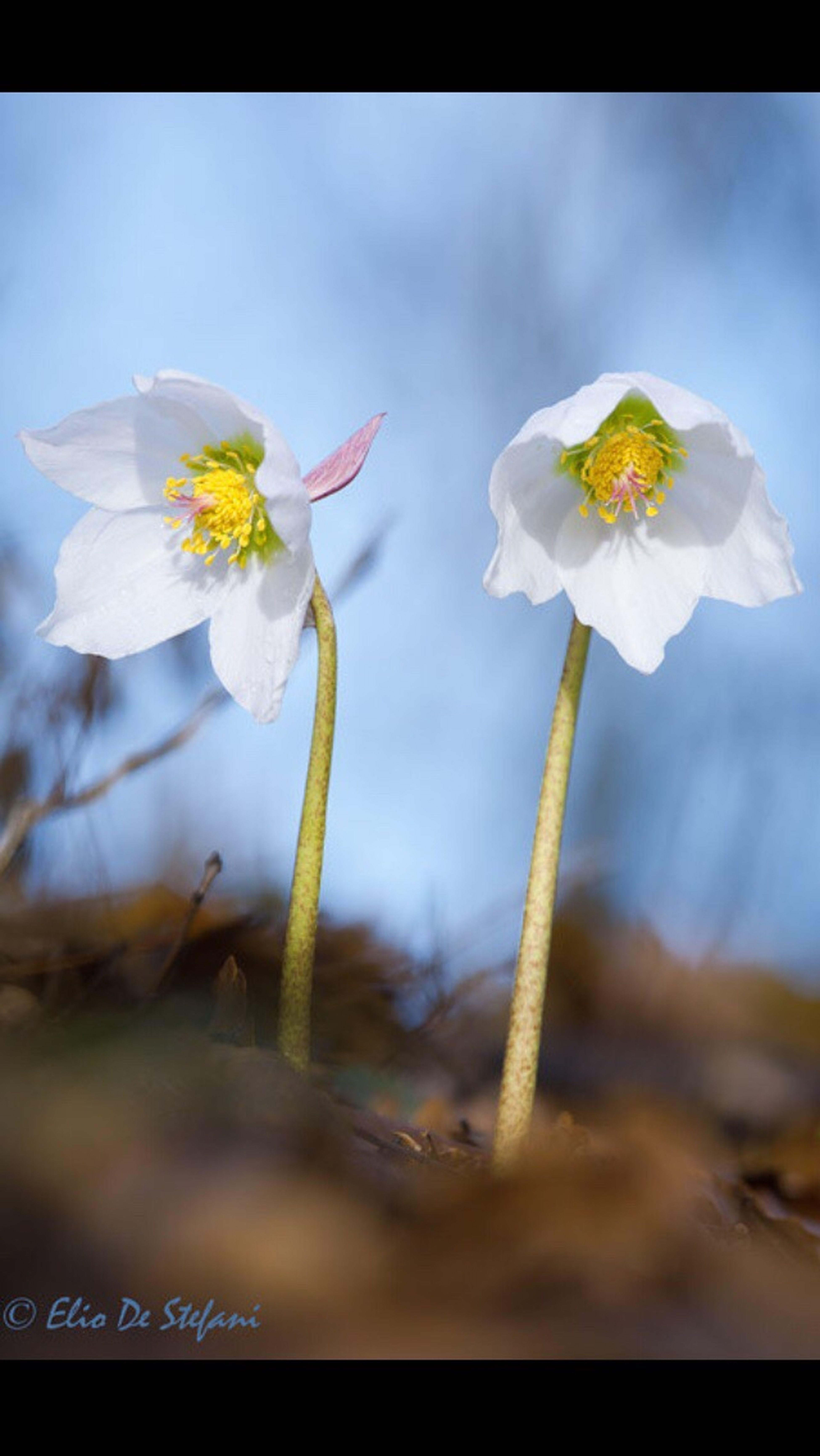 Helleborus Niger Helleborus Niger Rosa Di Natale Fiori Invernali Wildflowers Fiorispontanei